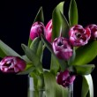 Tulips on a black background — Stock Video #65857231