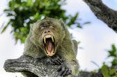 Monkey Ape — Stock Photo