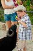 Little boy feeds the sheep to  zoo — Stock Photo