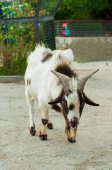 Speckled goat at the zoo — Stock Photo