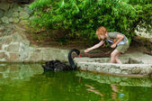 Little girl feeding a black swan — Stock Photo