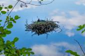 Common coot bird nest on water Fulica Atra — Stock Photo