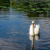 Graceful white swan swimming on water — Stock Photo