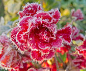 Red roses covered with hoarfrost — Stock Photo