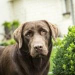 Labrador dohg in garden — Stock Photo #54239353