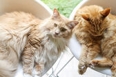 Two cats relax at home — Stock Photo