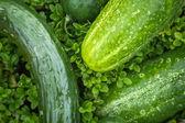 Cucumber and tomatoe in garden — Stockfoto