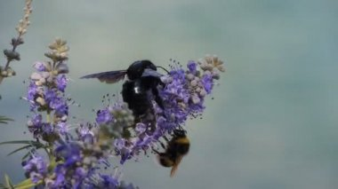 Bees sitting on Flower — 图库视频影像