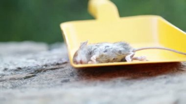 Dead mouse presented in yellow scoop — Stock Video