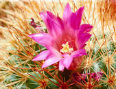 Pink flower of cactus with yellow pistil from greenhouse macro. — Stock Photo