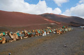 Camels show in national park Timanfaya island Lanzarote — Stock Photo