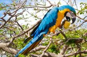Macaw parrot enjoy a pear. — Stock Photo