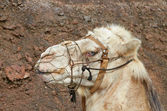 Portrait of a blond camel with blue eyes from Timanfaya — Stock Photo