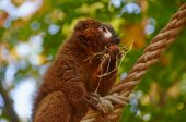 Red bellied lemur gets breakfast — Stock Photo