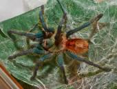 Spider tarantula Chromatopelma cyaneopubescens sit on her web ma — Stock Photo