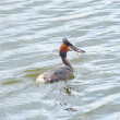 Great Crested Grebe caught fish — Stock Photo #66825973