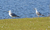 Two Herring Gulls sit on a grass — Stock Photo