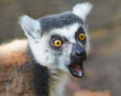 Portrait of lemur catta (ring tailed lemur) close up — Stock Photo