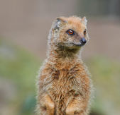 Portrait of Yellow Mongoose close up — ストック写真