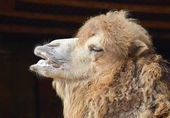 Portrait of a dromedary (Arabian camel) — Stock Photo