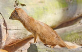 Yellow Mongoose is curious close up — ストック写真