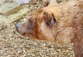 Portrait of Brown bear (Ursus arctos) — Stock Photo