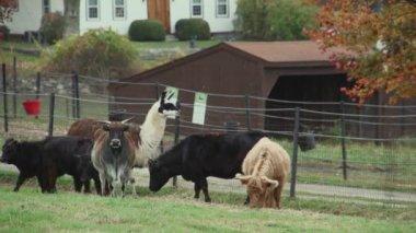 Herd of cattle grazing — Stock Video