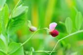 ソラマメの花 — ストック写真