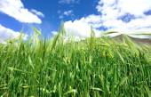 Highland barley crops — Stock Photo