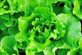 Green lettuce crops in growth — Stock Photo