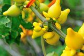 Nipple fruit in growth at garden — Stock Photo