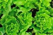 Liście zielonej sałaty — Zdjęcie stockowe