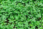Zielonej kolendry w ogrodzie — Zdjęcie stockowe