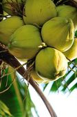 Coconut palmboom — Stockfoto