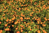 Ripe tangerines with leaves — Stock Photo