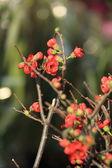 Scarlet Malus spectabilis flowers — Stock Photo