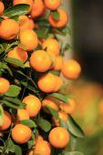 Zralé mandarinky s listy — Stock fotografie