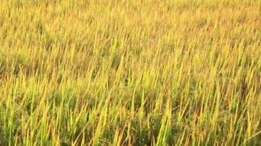 Rice paddy waving — Stock Video