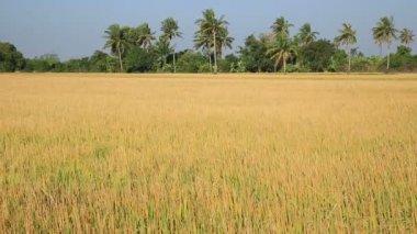 Highland barley crops — Stock Video