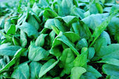 Bok choy cabbage leaves — Stock Photo