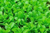 Green choy sum in garden — Stock Photo