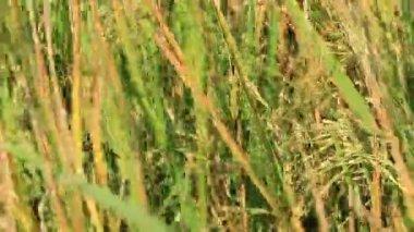 Rural grass field — Stock Video