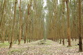 Rubber trees row — Foto Stock