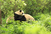 Giant pandas  forest — Stock Photo