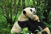Cute panda bears — Stock Photo