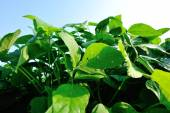 Soybean plants at field — Stock Photo