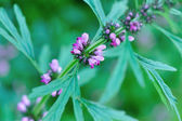 Motherwort  blooming flowers — Stock fotografie