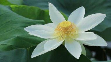 Lotus Tozlaşmayı arılar — Stok video