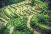 Rice paddy in summer — Stock Photo