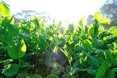 Green pea plants — Stock Photo